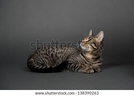 Brown Tabby Cat on Dark Background - stock photo