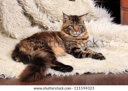Brown Tabby Maine Coon on the white fur rug - stock photo