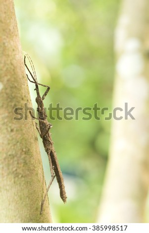 Brown thorn phasmid (Neohirasea japonica) on tree trunk - stock photo