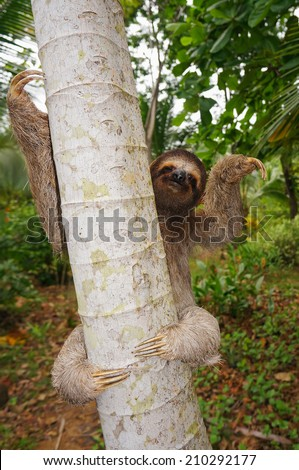 Brown-throated sloth on a tree, Panama, Central America - stock photo