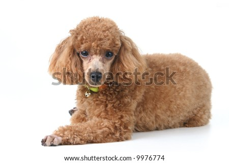 Brown toy poodle in classic poodle cut groomed professionally - stock photo