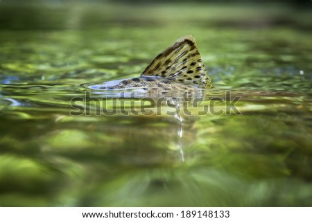 Brown trout fin surfacing in a crystal clear creek. - stock photo