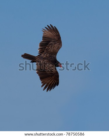Brown turkey vulture looks for food. - stock photo