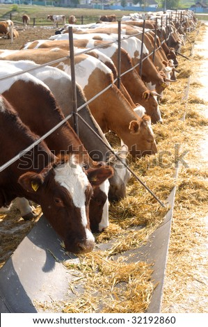 brown-white cows eating hay on feeding trough - stock photo