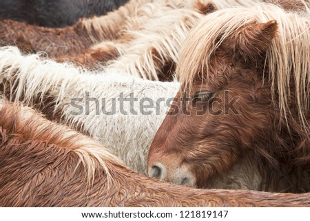 Brown wild pony portrait having a rest with his brothers - stock photo