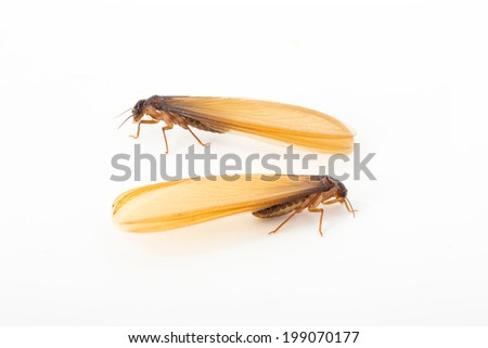 brown winged termite (alate) isolated on white background.  - stock photo