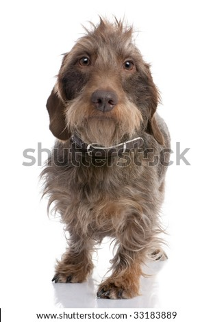 Brown Wire-haired dachshund (3 yeras old) in front of a white background - stock photo