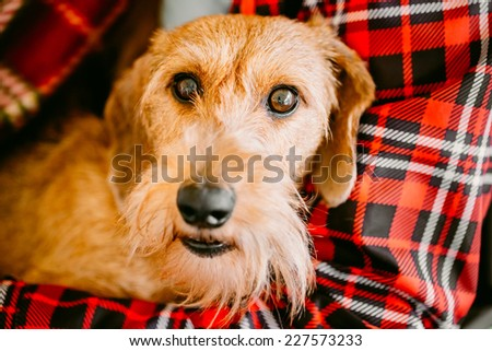 Brown Wirehaired Dachshund Sits In Hands Of Mistress - stock photo
