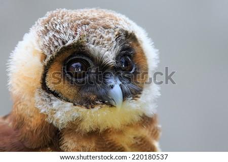 Brown wood owl portrait - stock photo