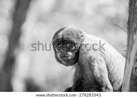 Brown woolly monkey sitting in a tree - stock photo