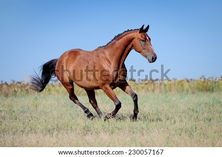 Brown young sport horses running gallop on the field with braided mane on field background  - stock photo
