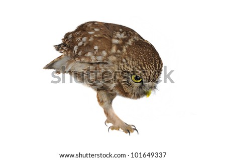brownie  horned owl on a white background - stock photo