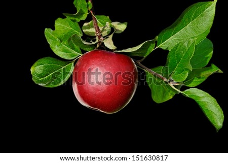 Brunch with red apples isolated on black surface. - stock photo