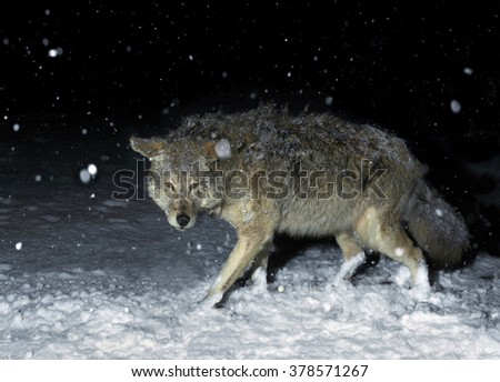 Brush Wolf (Coyote) in Winter Snow at Night - stock photo