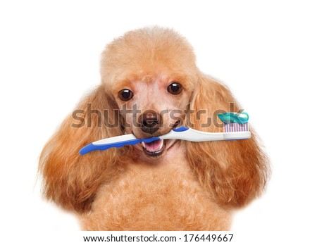 brushing teeth dog - stock photo