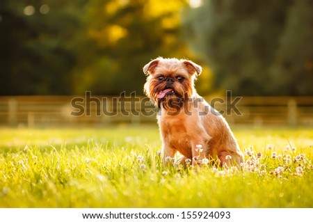 Brussels Griffon on a summer outing - stock photo