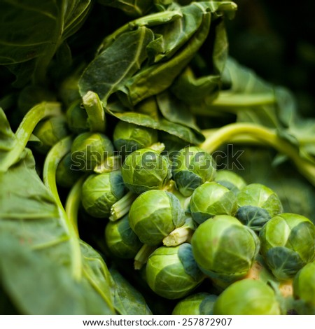 Brussels sprouts on a bush in a garden. Vegetables, fresh healthy food. Macro perspective, nobody. Garden, gardening, rising vegetables.  - stock photo