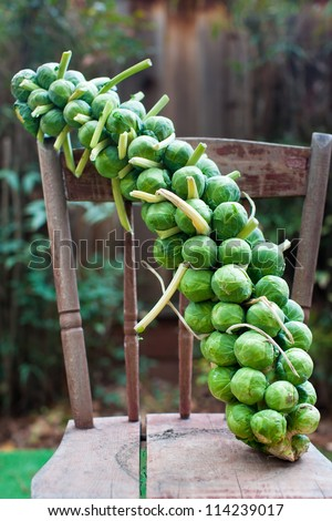 Brussels sprouts on a stalk - stock photo