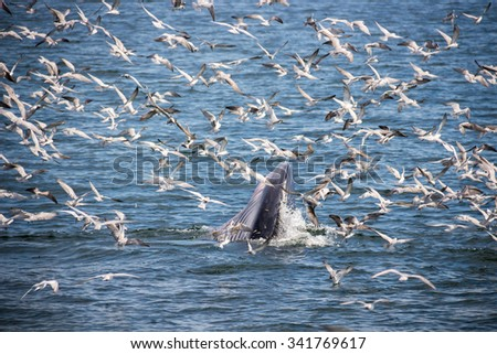 Bryde's whale feeding in the Gulf of Thailand - stock photo