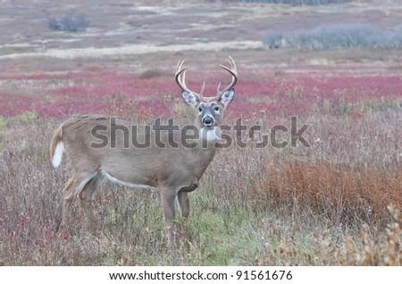 Buck in fall meadow - stock photo