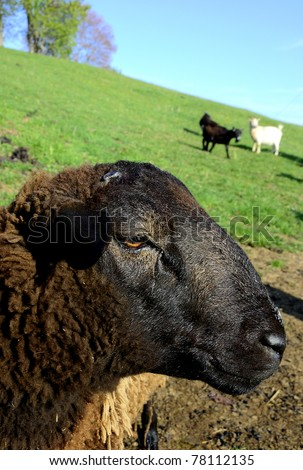 Buck Sheep, Barbados Blackbelly, Pygmy goats grazing, family farm, Webster County, West Virginia, USA - stock photo