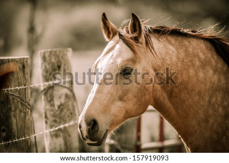 Buck-skin horse next to barbed wire fence and ranch/fence gate (head; profile) - stock photo