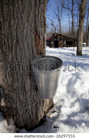 bucket and tap in maple tree with sugar shack in the background - stock photo