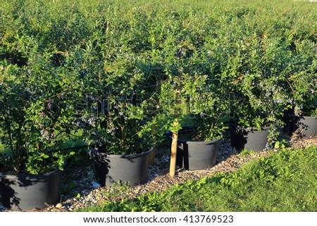 Bucket plants Blueberries Nursery gardening - stock photo
