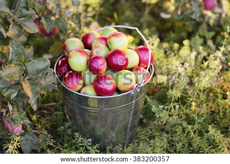 bucket with ripe red apples in grass - stock photo