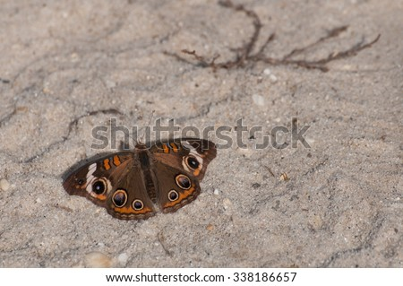 Buckeye butterfly (Junonia coenia) perched on sand during fall migration - stock photo