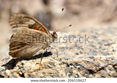 Buckeye Butterfly on the rock - stock photo
