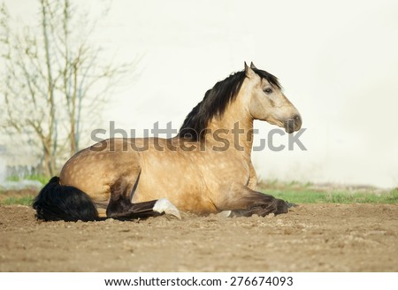 buckskin lusitano stallion lying on a sand in paddock with white stable wall behind - stock photo