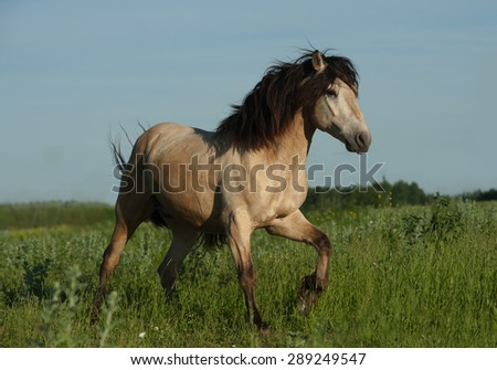 Buckskin wild stallion running gallop - stock photo