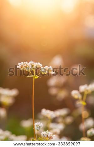 buckwheat near sunset in the field - stock photo