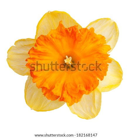 Bud blossomed daffodil yellow on a white background - stock photo
