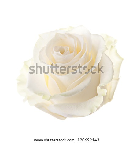 Bud of a white rose. isolated - stock photo