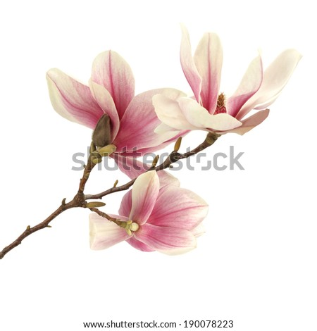 bud of magnolia  - stock photo