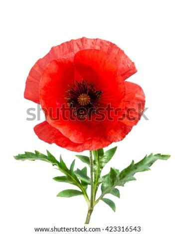 bud of single red poppy isolated on white - stock photo
