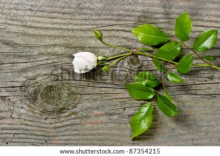 bud of soft white rose with green leaves over grunge wooden background - stock photo
