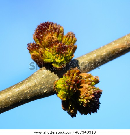 bud on a tree that blooms in spring - stock photo