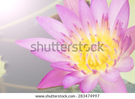 Bud pink lotus, flower of buddhist, flare and soft light style - stock photo