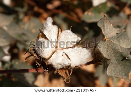 Bud with a leaves of cotton on a field - stock photo