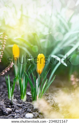 Bud yellow crocus in Spring Garden against background - stock photo