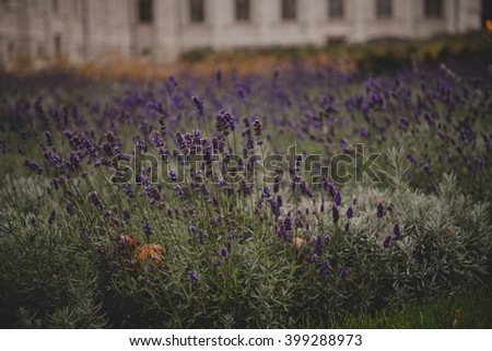 Budapest Lavender - stock photo