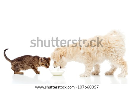 Buddies at the feeding bowl - little dog and cat eating, isolated - stock photo