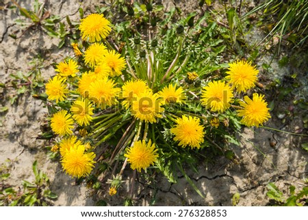 Budding, blooming and overblown common dandelions in dry cracked clay ground on a sunny day in the early spring season. - stock photo