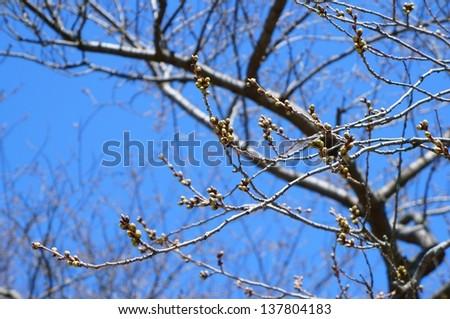 Budding tree - stock photo
