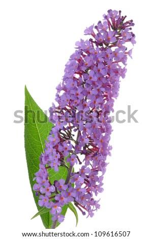Buddleja davidii purple flower isolated on white - stock photo