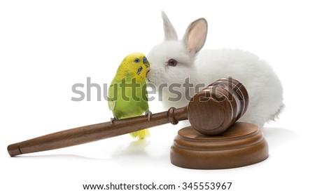 Budgerigar bird on judge gavel with white rabbit isolated on white background.         - stock photo
