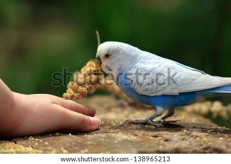 Budgerigar eating millet - stock photo